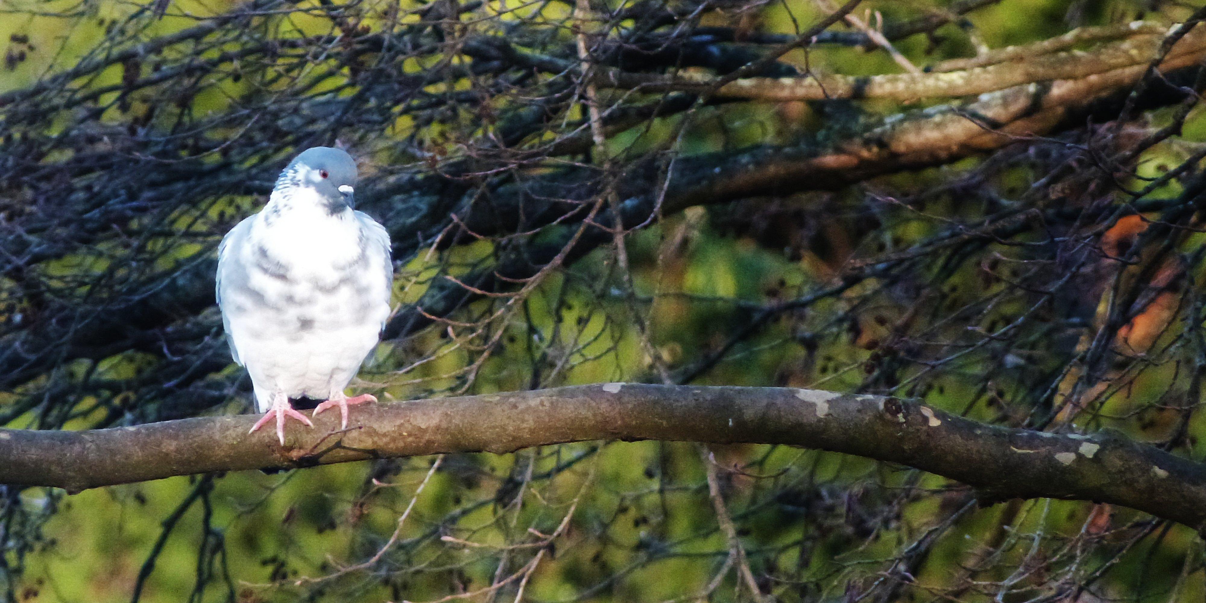 Photos d 39 animaux et d 39 oiseaux oiseaux de parcs ou de jardins - Comment se debarrasser des pigeons dans le jardin ...