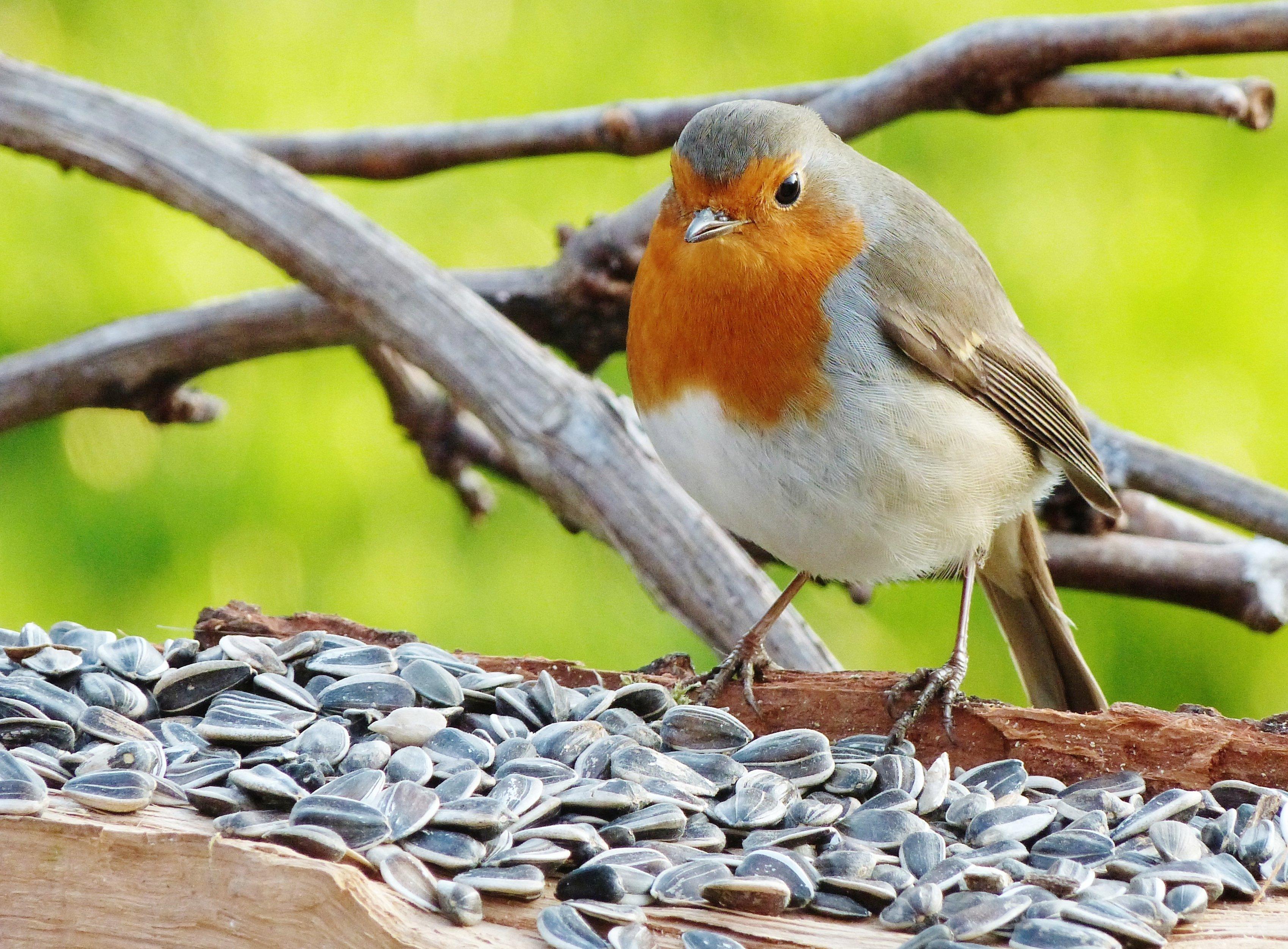 Photos d 39 animaux et d 39 oiseaux oiseaux de parcs ou de jardins for Nichoir a rouge gorge