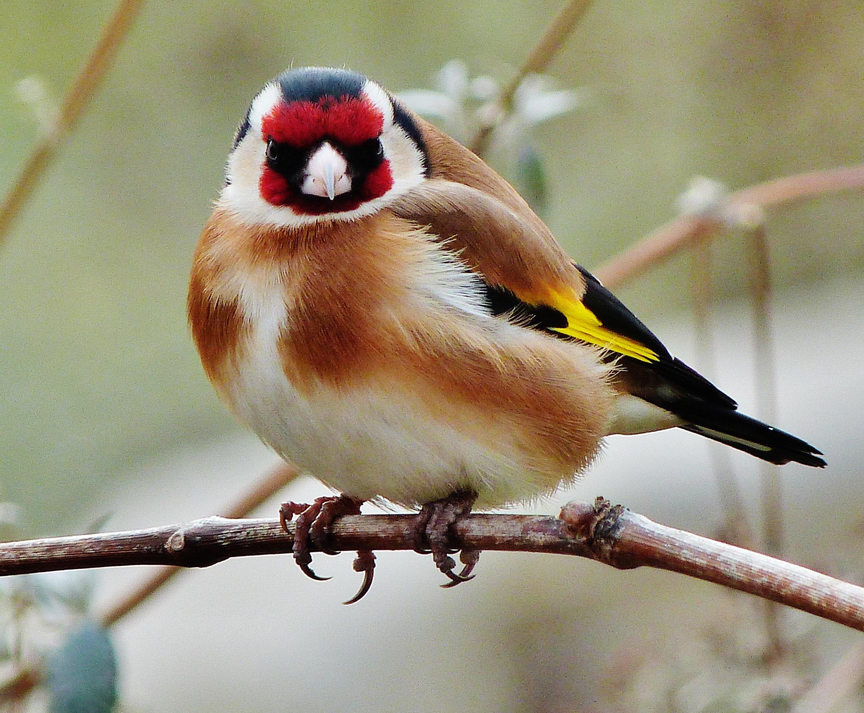 Photos d 39 animaux et d 39 oiseaux chardonneret for Les oiseaux des jardins