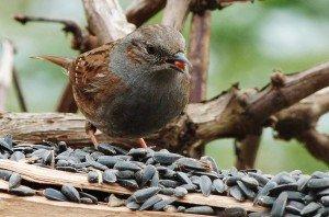 Accenteur Mouchet dans Oiseaux de parcs ou de jardins P1020083-300x198