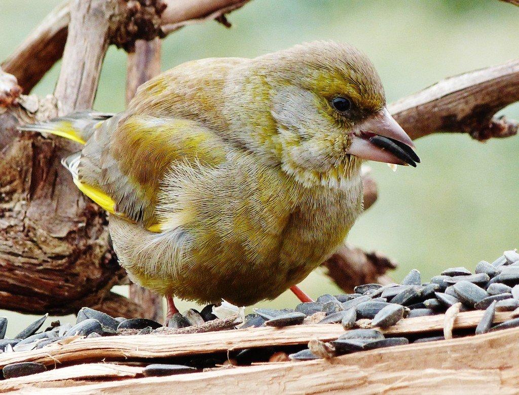 Verdier d'Europe dans Oiseaux de parcs ou de jardins Verdier-dEurope-3-1024x779